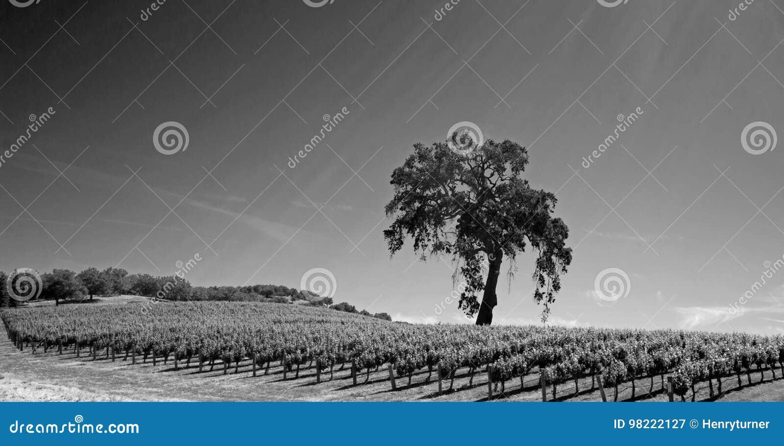 Chêne de vallée de la Californie dans le vignoble dans le pays de vin de Paso Robles en Californie centrale Etats-Unis - noire et