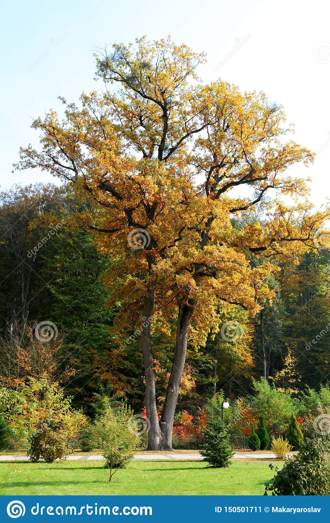 Chêne grand en parc en automne