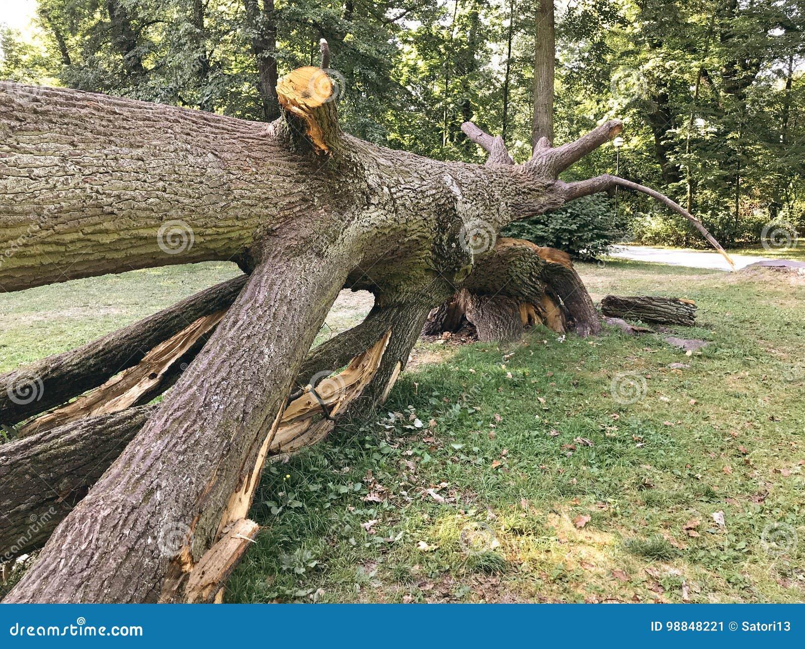 Chêne puissant tombé en Pologne orientale