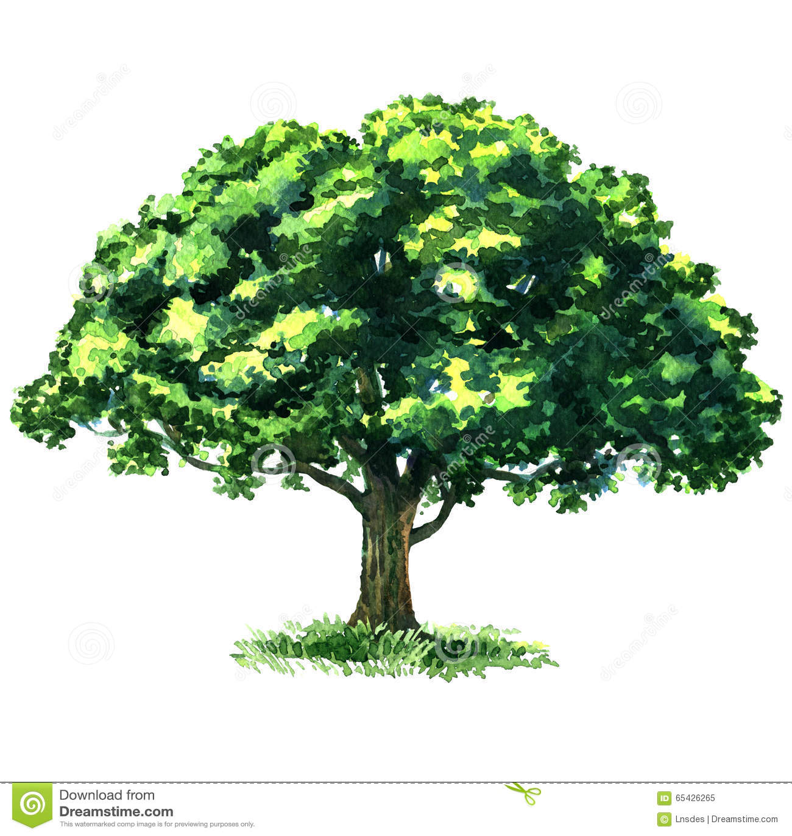 Ch ne vert d 39 arbre d 39 isolement sur le fond blanc - Maladie du chene vert arbre ...