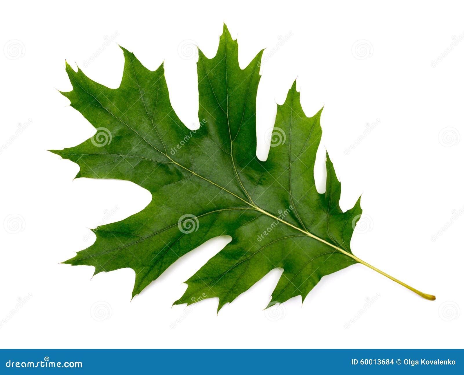 Ch ne vert de feuille photo stock image du organique 60013684 - Prix du stere de chene ...