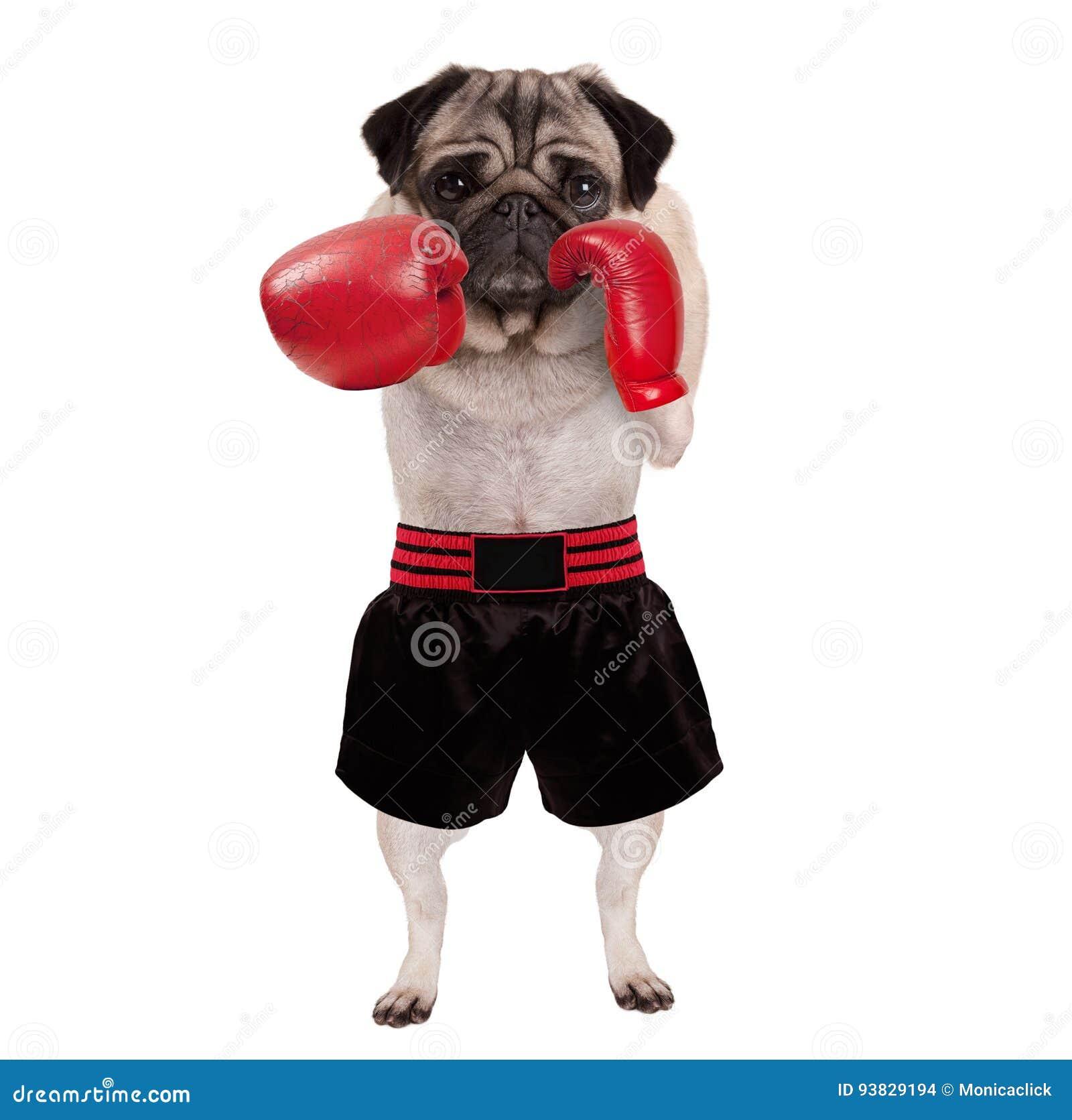 Chłodno trwanie mopsa psa bokser uderza pięścią z czerwonymi rzemiennymi bokserskimi rękawiczkami i skrótami