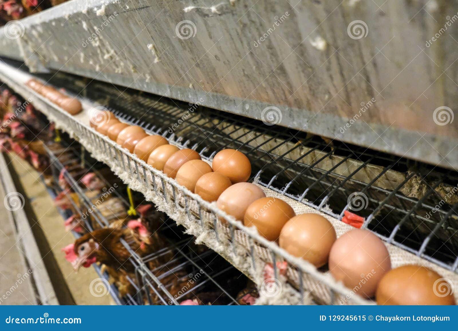 Chaîne de production à multiniveaux chaîne de production de convoyeur des oeufs de poulet d une ferme avicole