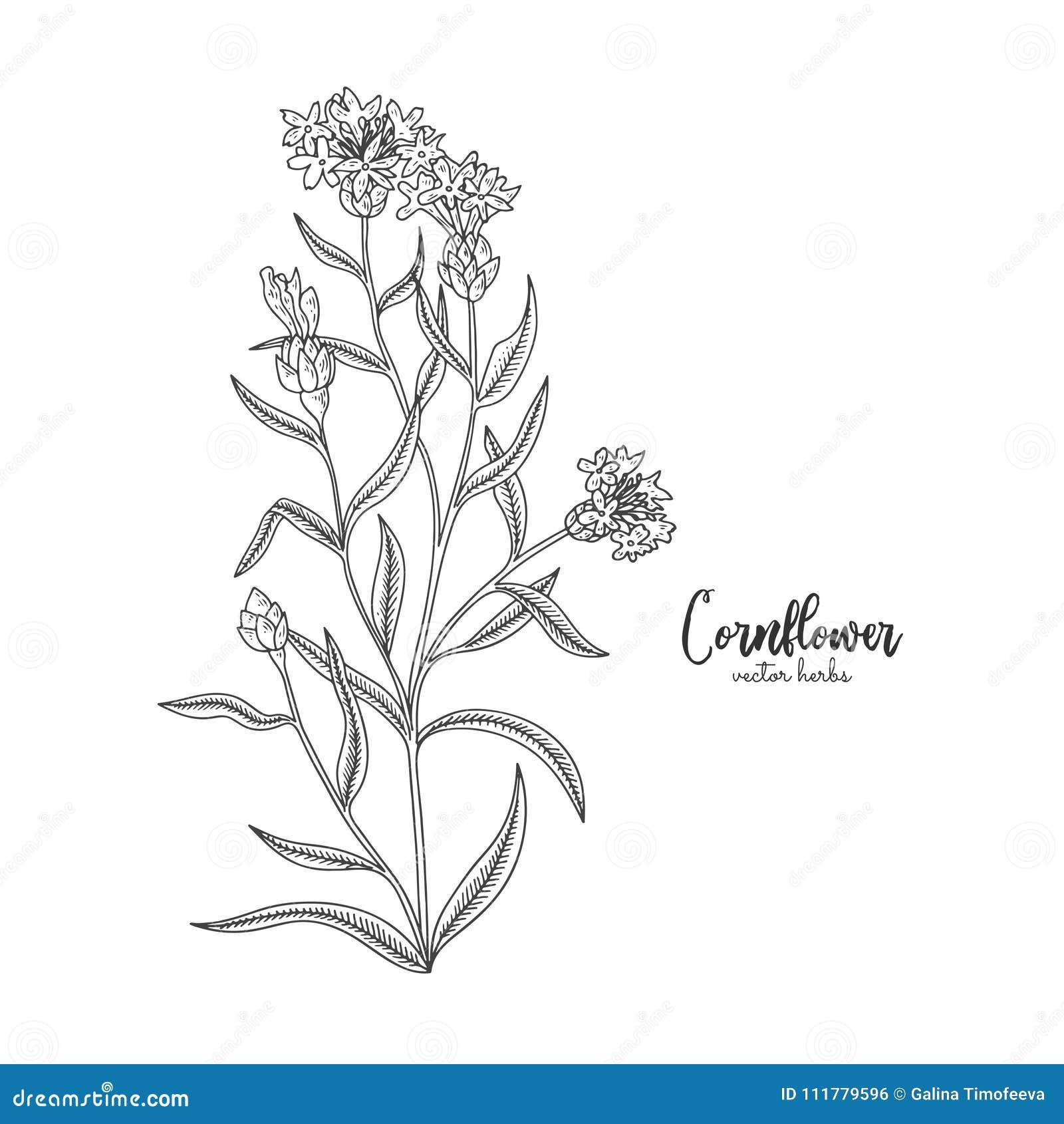 Chabrowy Dziki śródpolny kwiat odizolowywający na białym tle Uzdrawiać i kosmetyki zielarscy Medyczna roślina dla projekta pakunk