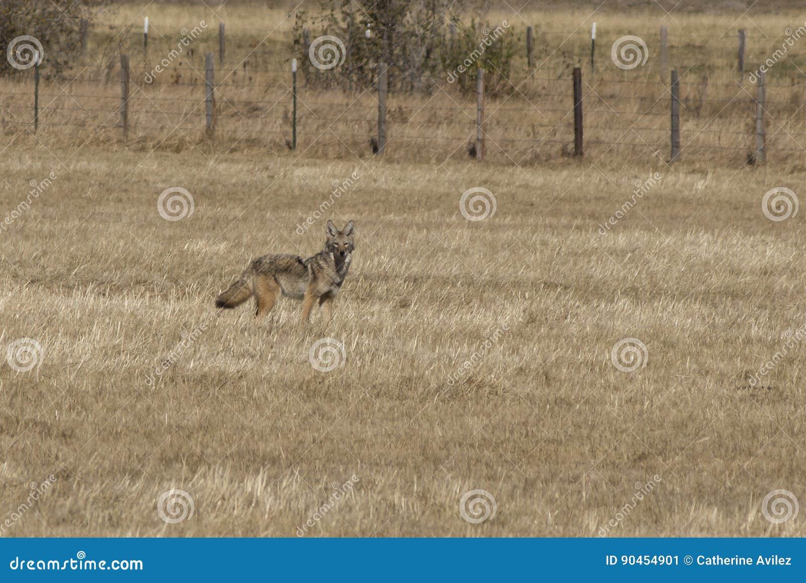 Chacal que está em um campo