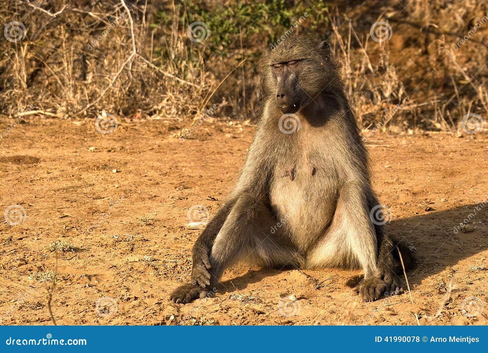 狒狒父亲狮子口下勇救幼崽_壁纸 动物 狮子 桌面 1300_957