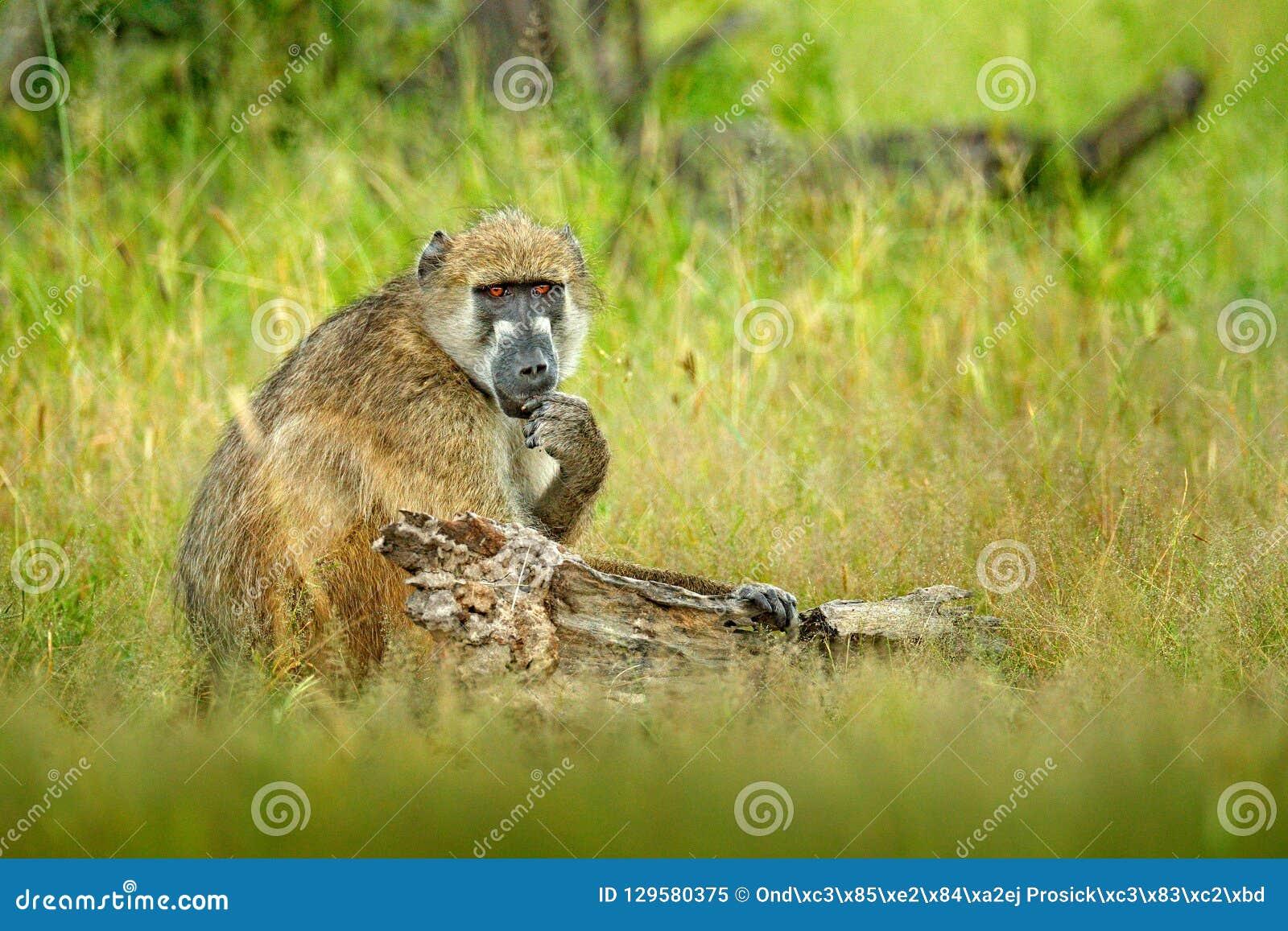Chacma baboon, Papio ursinus, monkey from Moremi, Okavango delta, Botswana. Wild mammal in the nature habitat. Monkey feeding frui