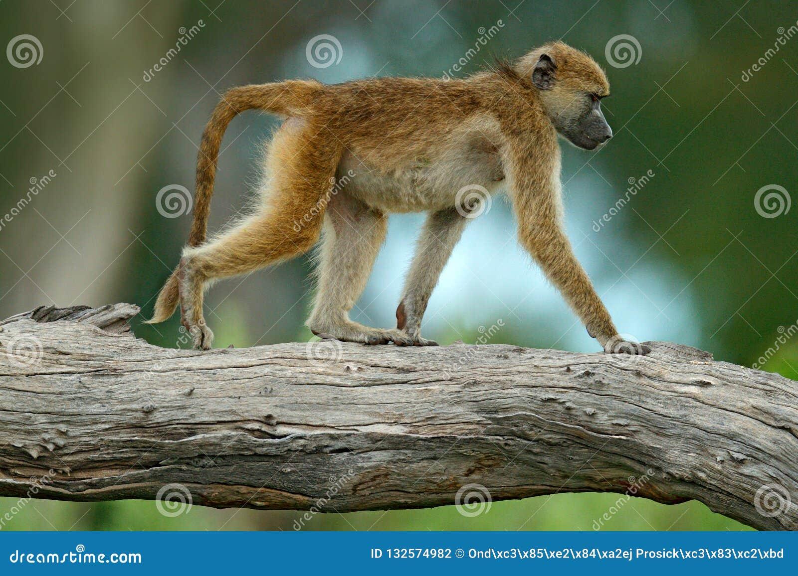Chacma baboon, Papio ursinus, monkey from Moremi, Okavango delta, Botswana. Wild mammal in the nature habitat. Monkey feeding