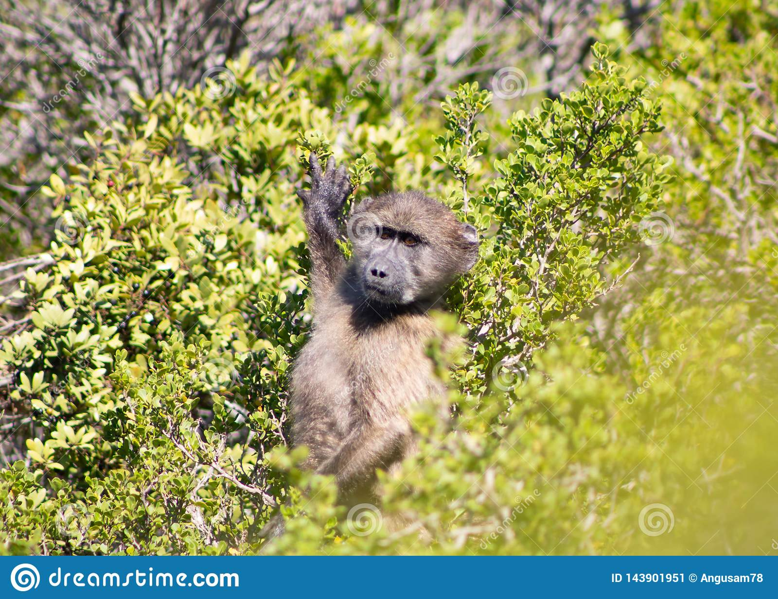 Chacma baboon standing in the fynbos