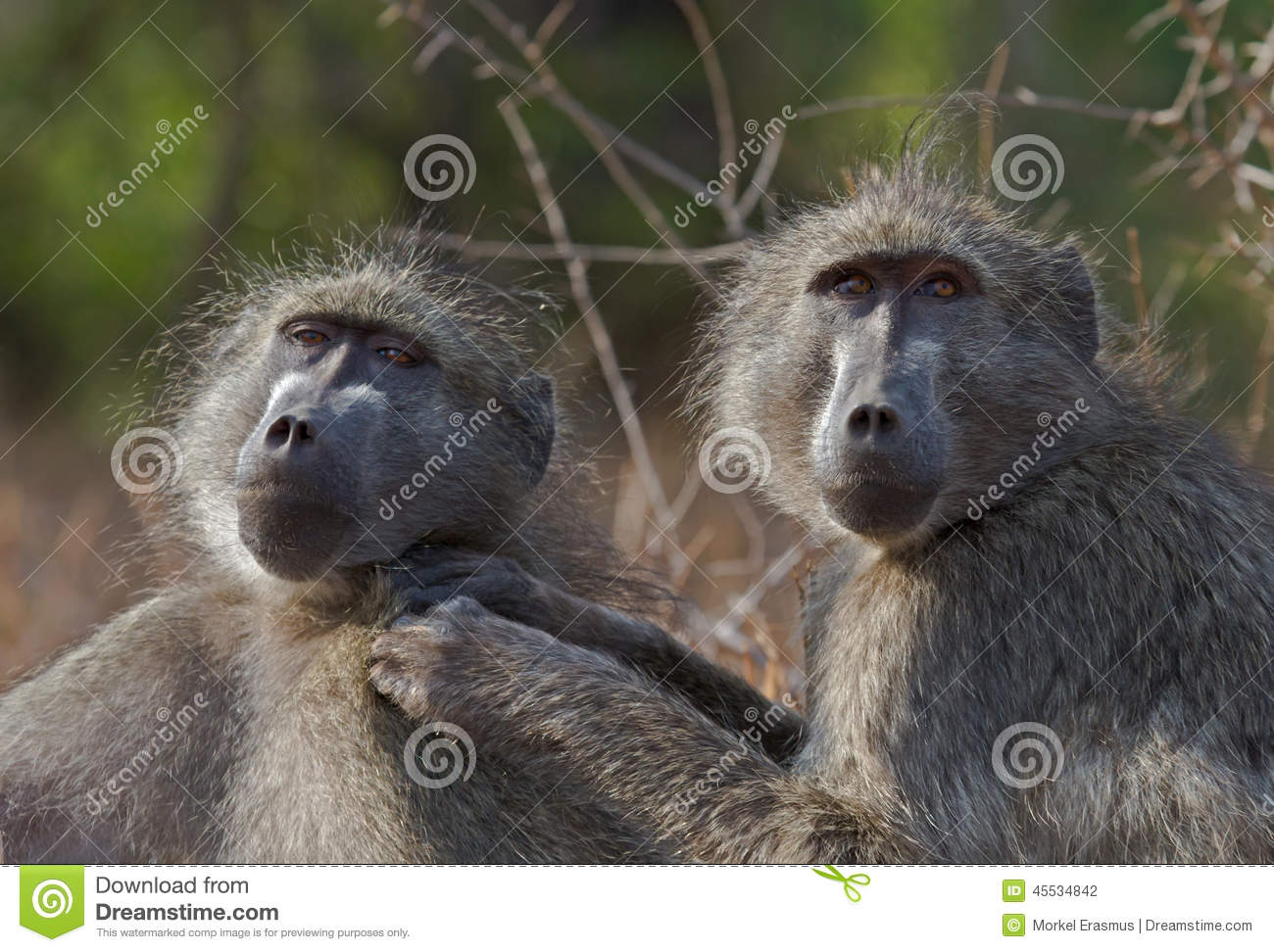 Chacma baboons engaged in mutual social grooming