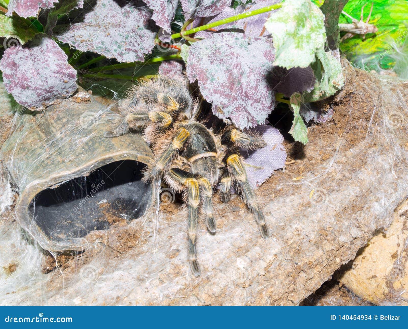 Chaco golden knee spider