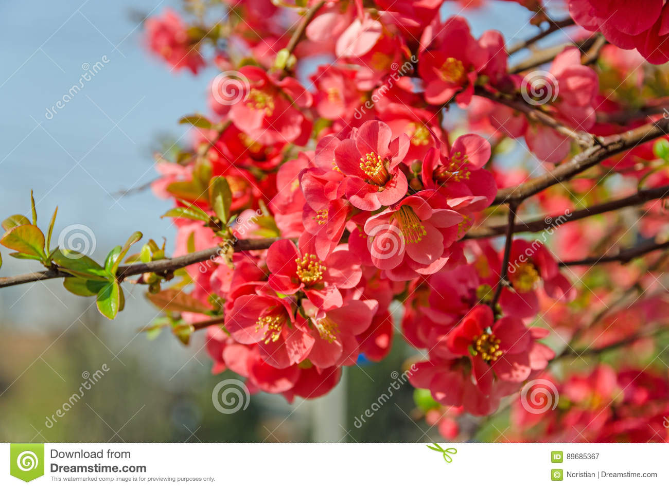 Chaenomeles Japonica Pink Tree Flowers Maules Quince Stock Image