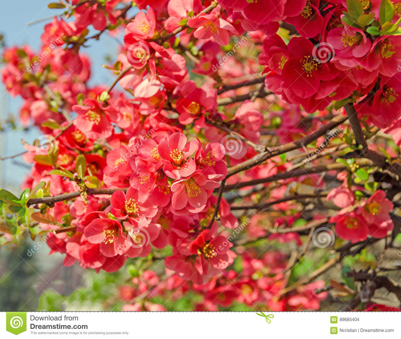 Chaenomeles Japonica Pink Tree Flowers Maules Quince Stock Photo