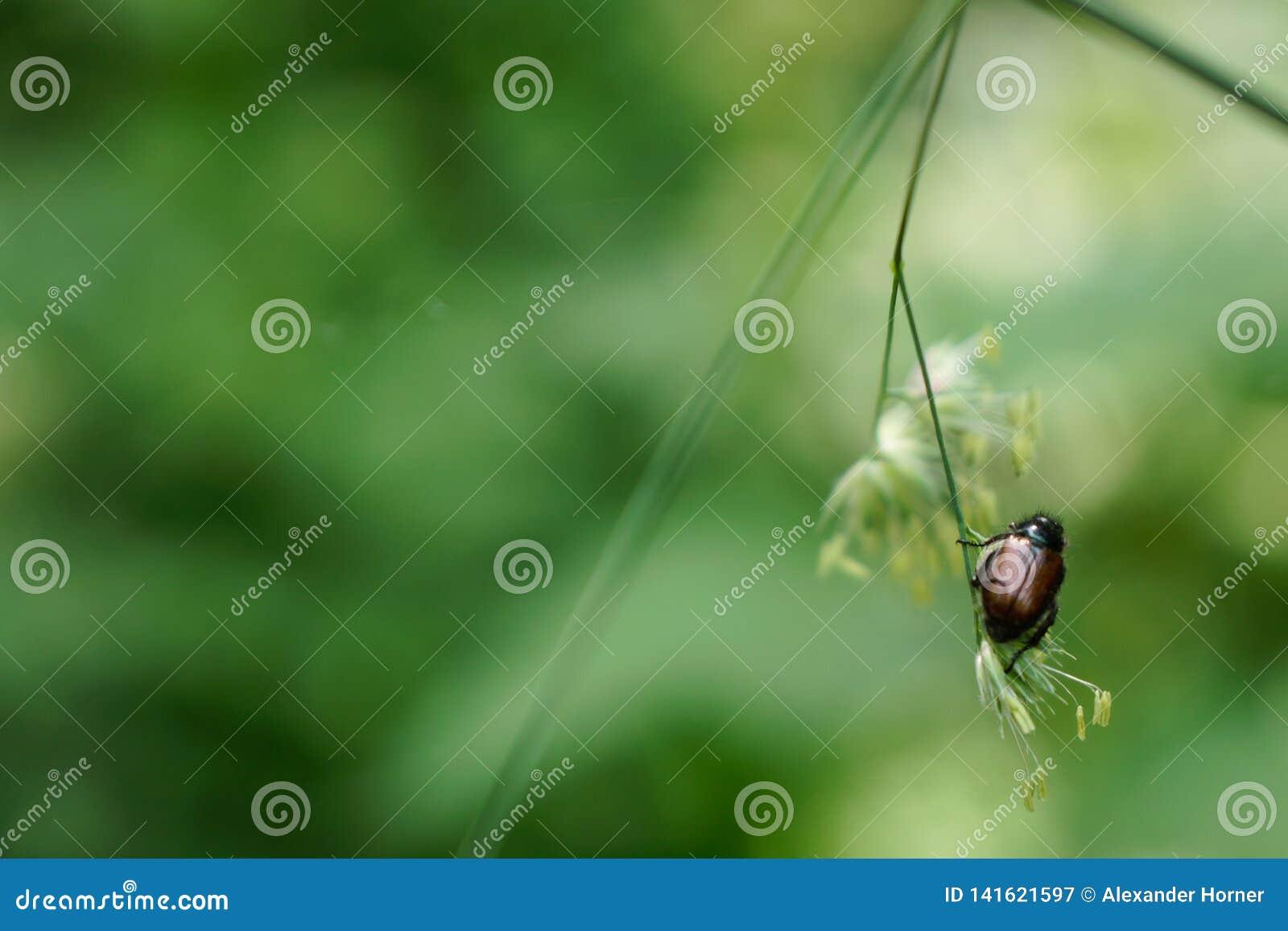 Chafer de zitting van de insectenkever op gras voor groene achtergrond