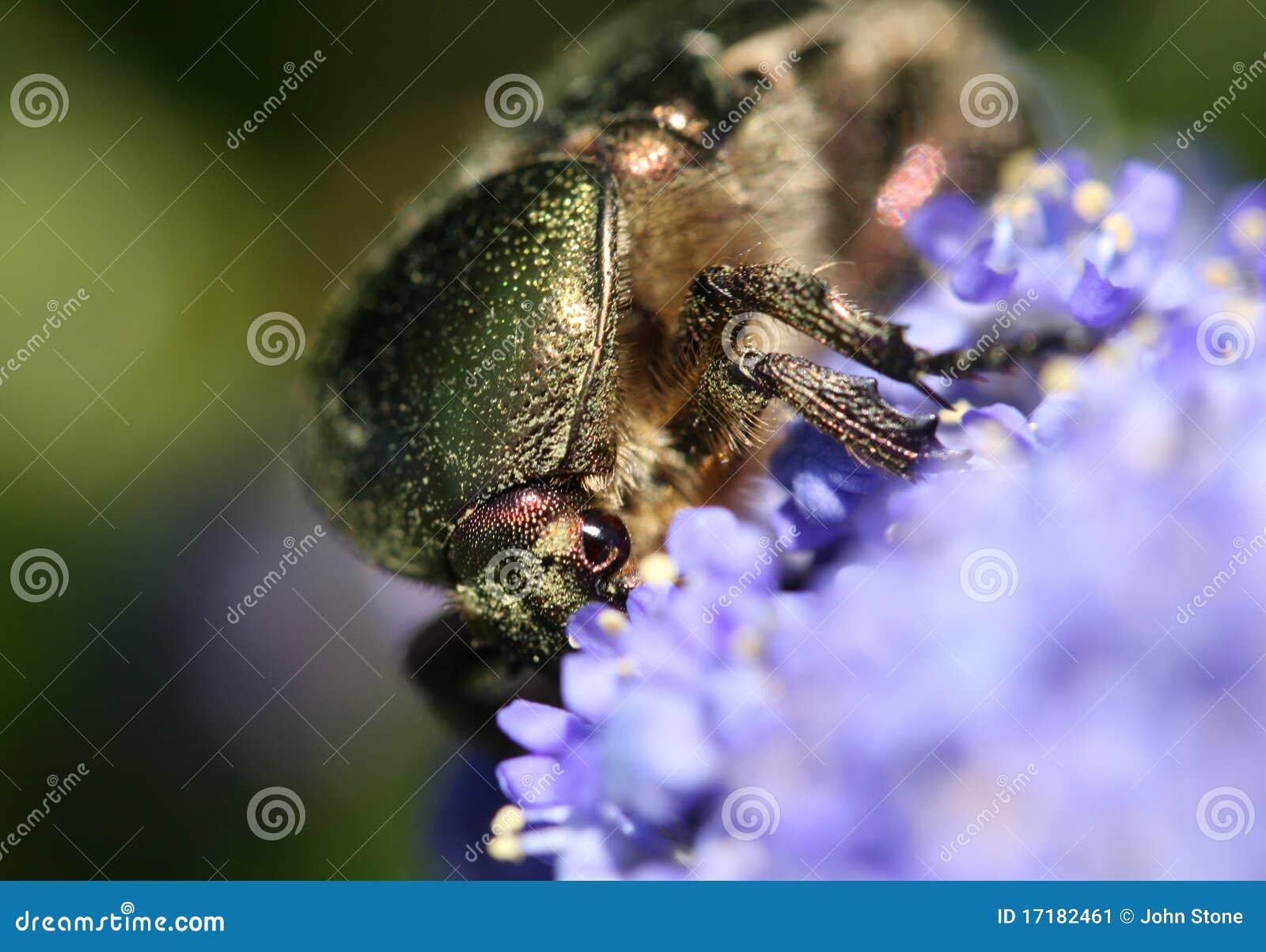 Chafer della vite marginato scarabeo