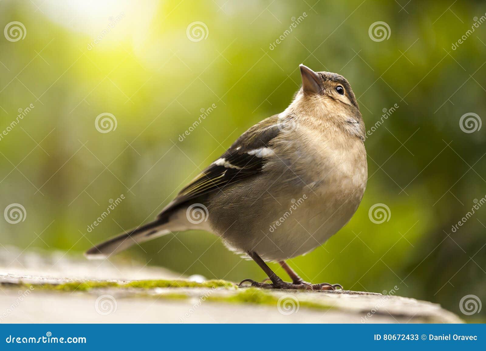 Chaffinch Bird Looking Up