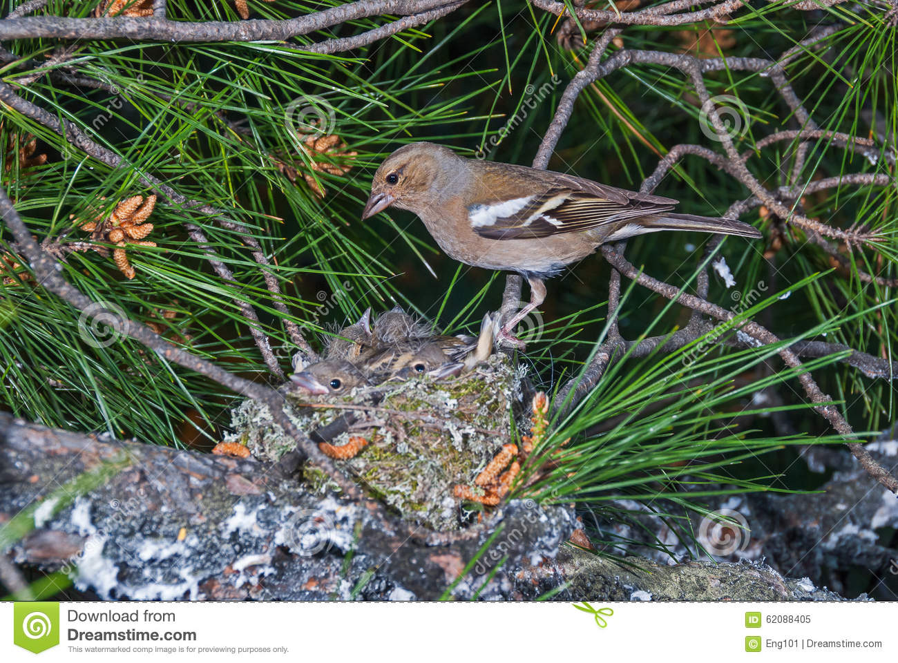 Chaffinch at nest with chicks