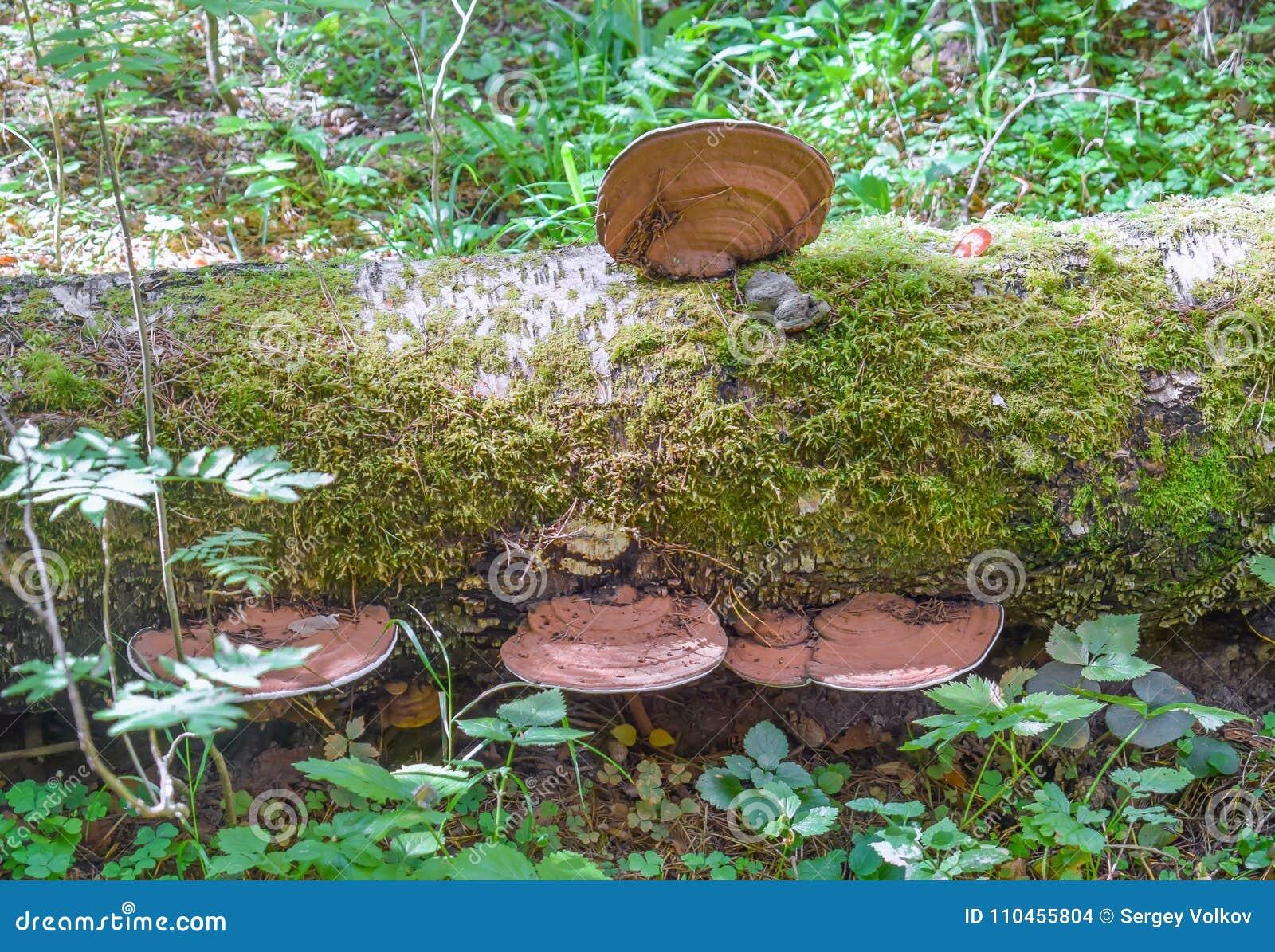 Chaga som växer på ett stupat björkträd