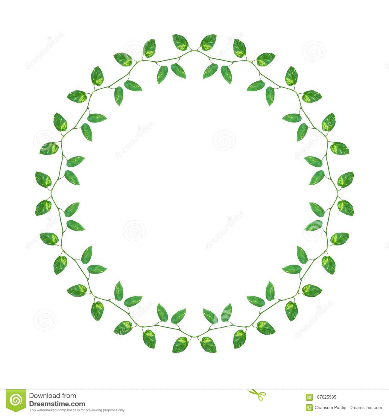 chain of green yellow leaves vines devil s ivy or golden pothos