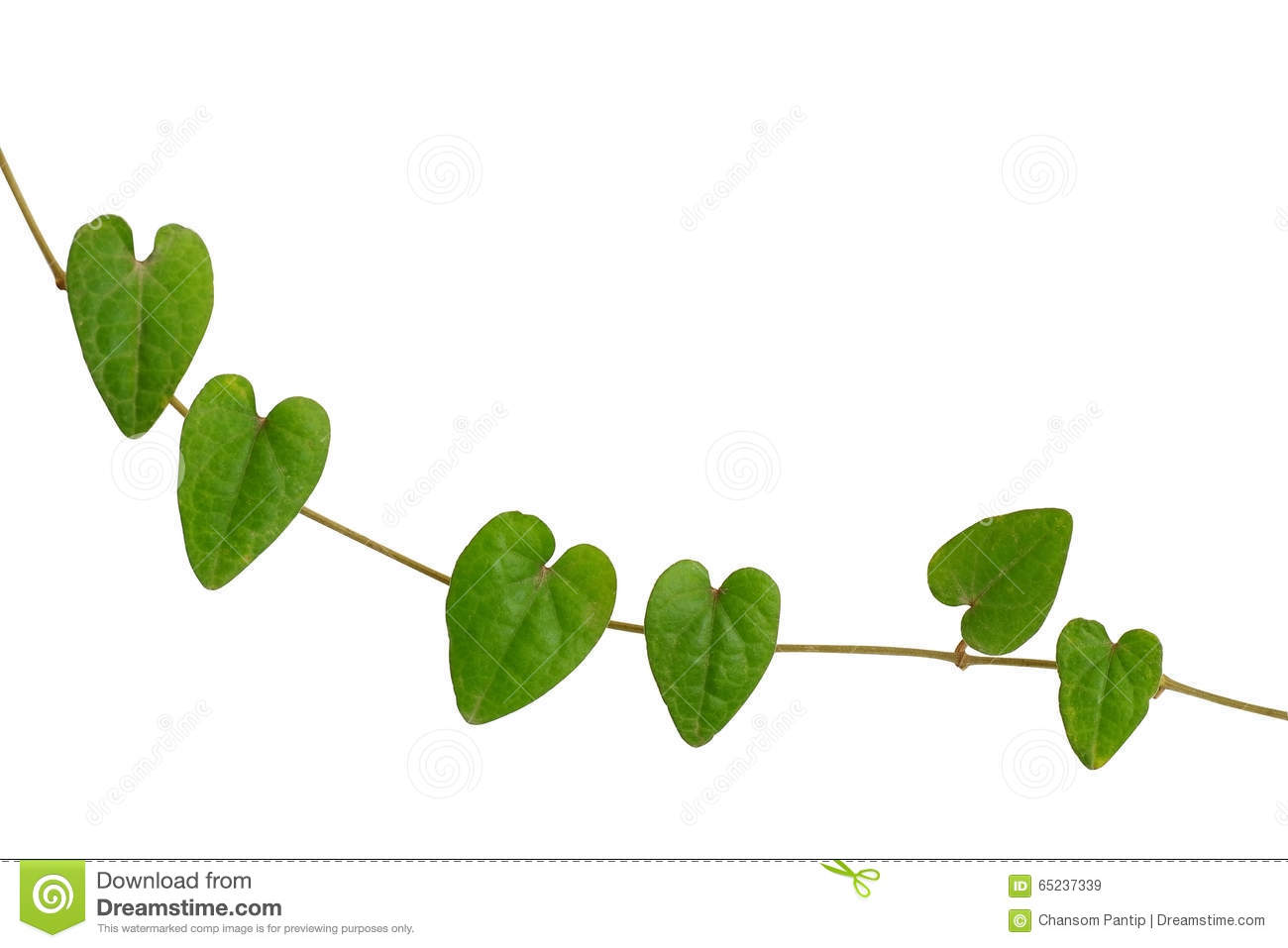 Chain of heart shaped green leaf vine raphistemma hooperianum chain of heart shaped green leaf vine raphistemma hooperianum blume decne isolated on white background with clipping path mightylinksfo
