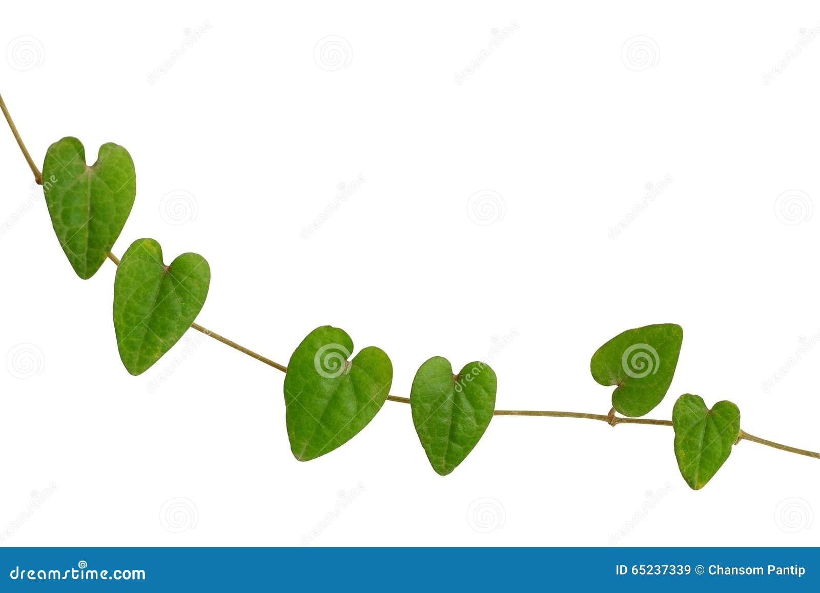 Chain Of Heart Shaped Green Leaf Vine Raphistemma Hooperianum