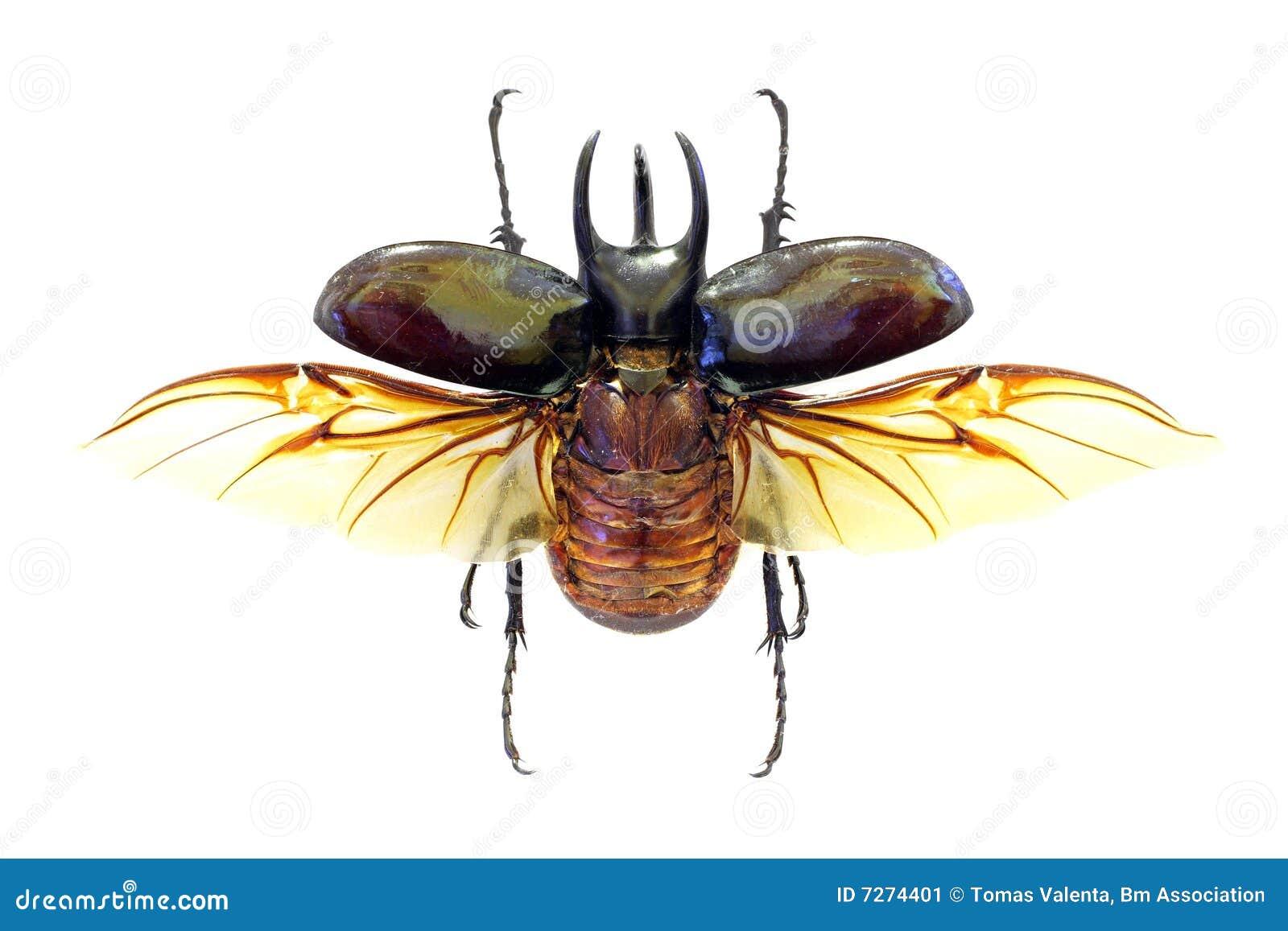 Chalcosoma de coléoptère d atlas exotique