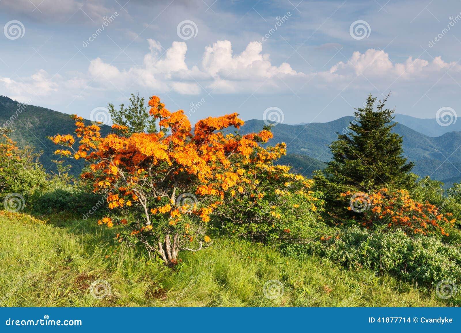 Chama Azalea Appalachian Mountains North Carolina