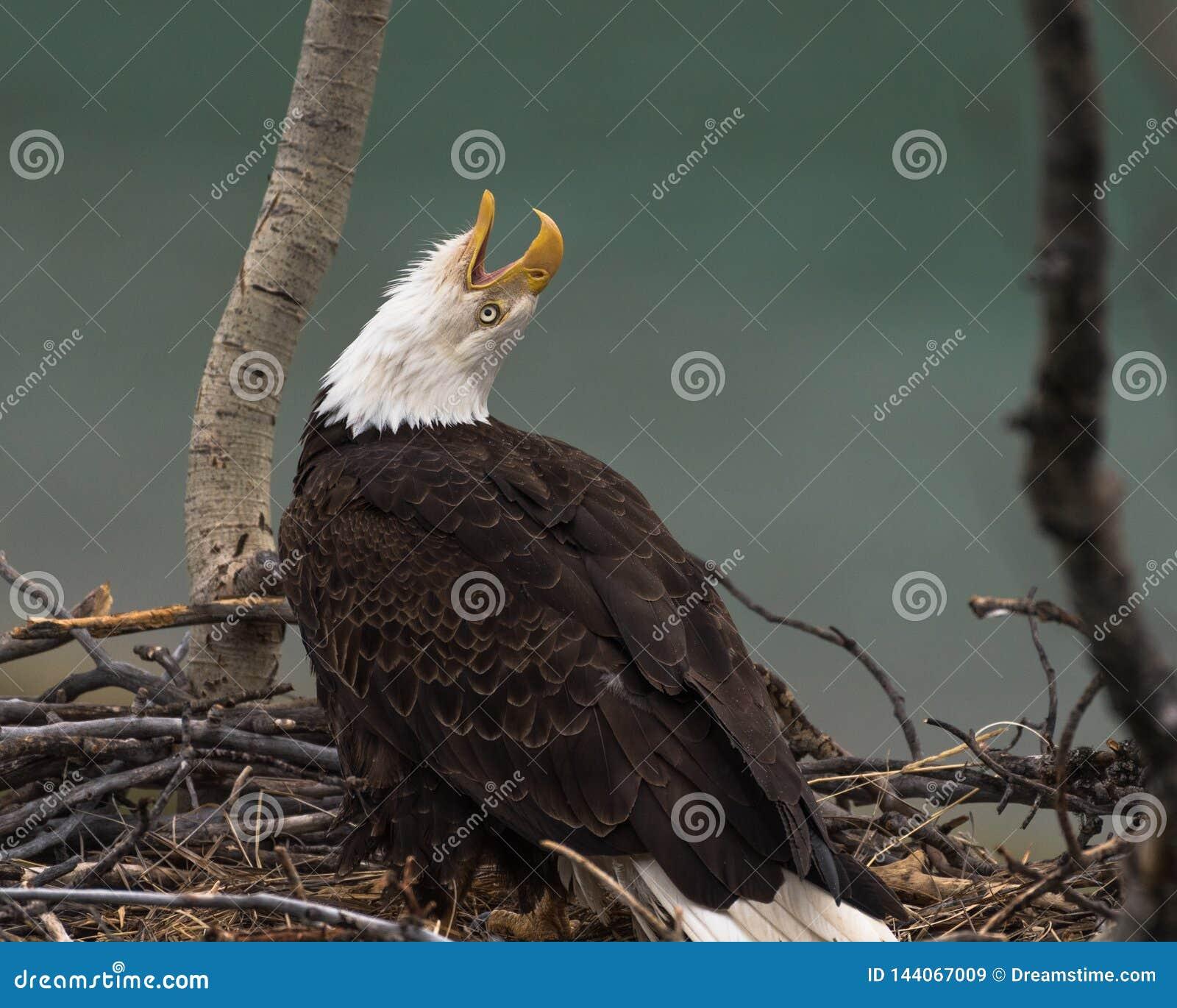 Chamadas da águia americana a seu companheiro