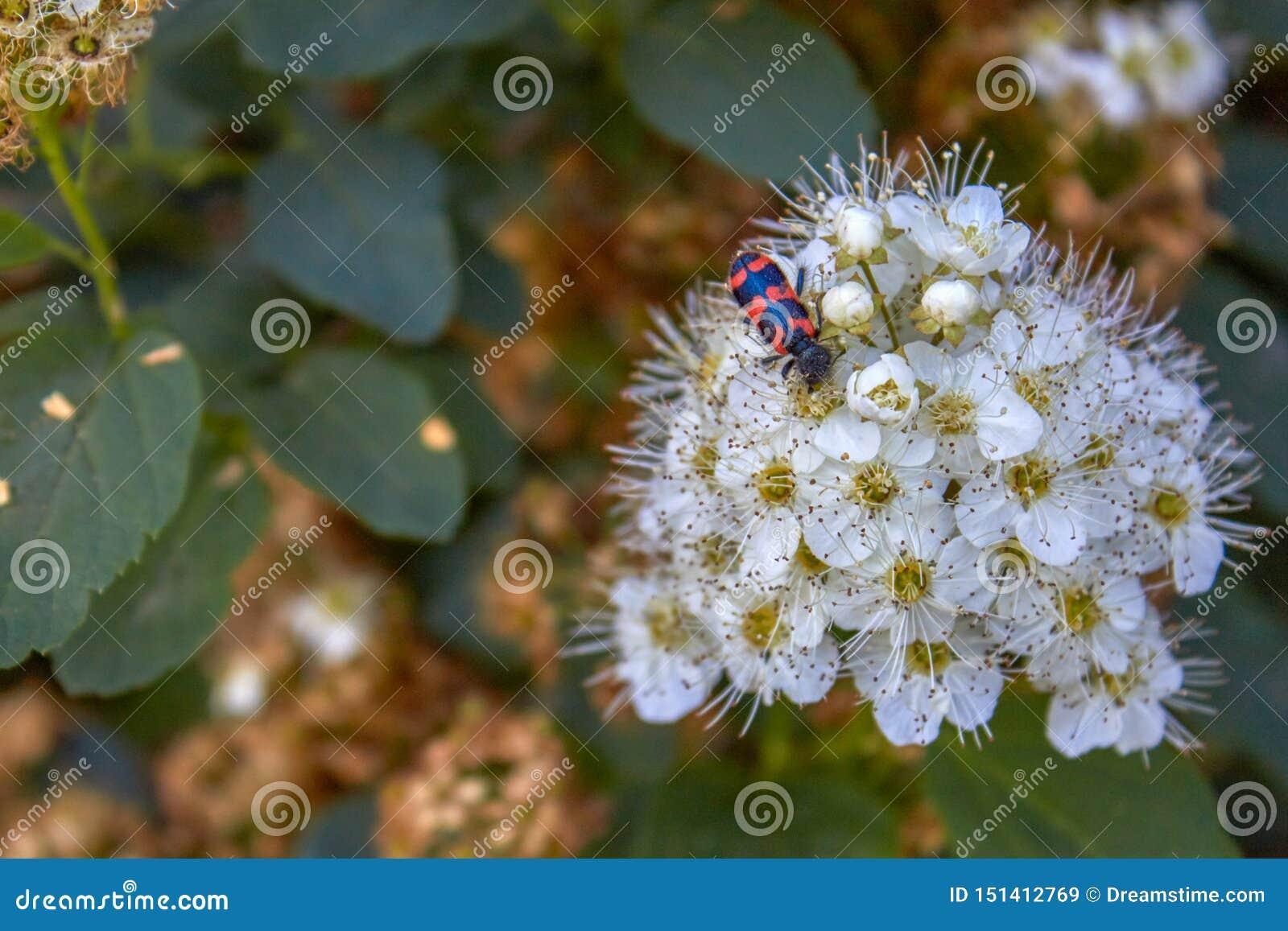 Chamaedryfolia 'Ulmen-Spierstrauch 'do Spiraea do arbusto com folha verde fresca e umbels brancos na mola e em um besouro na flor