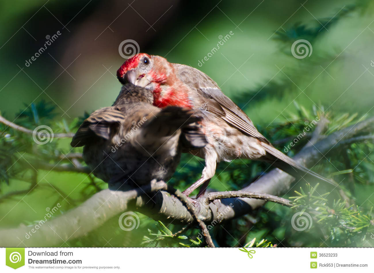 Chambre masculine Finch Feeding ses jeunes