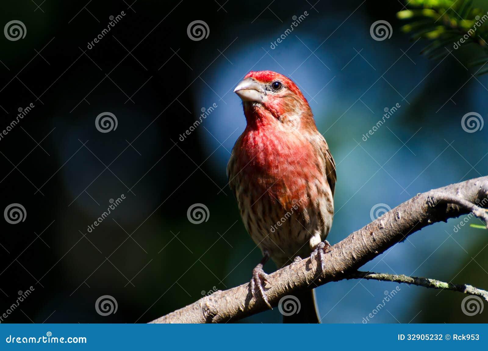 Chambre masculine Finch Perched sur une branche