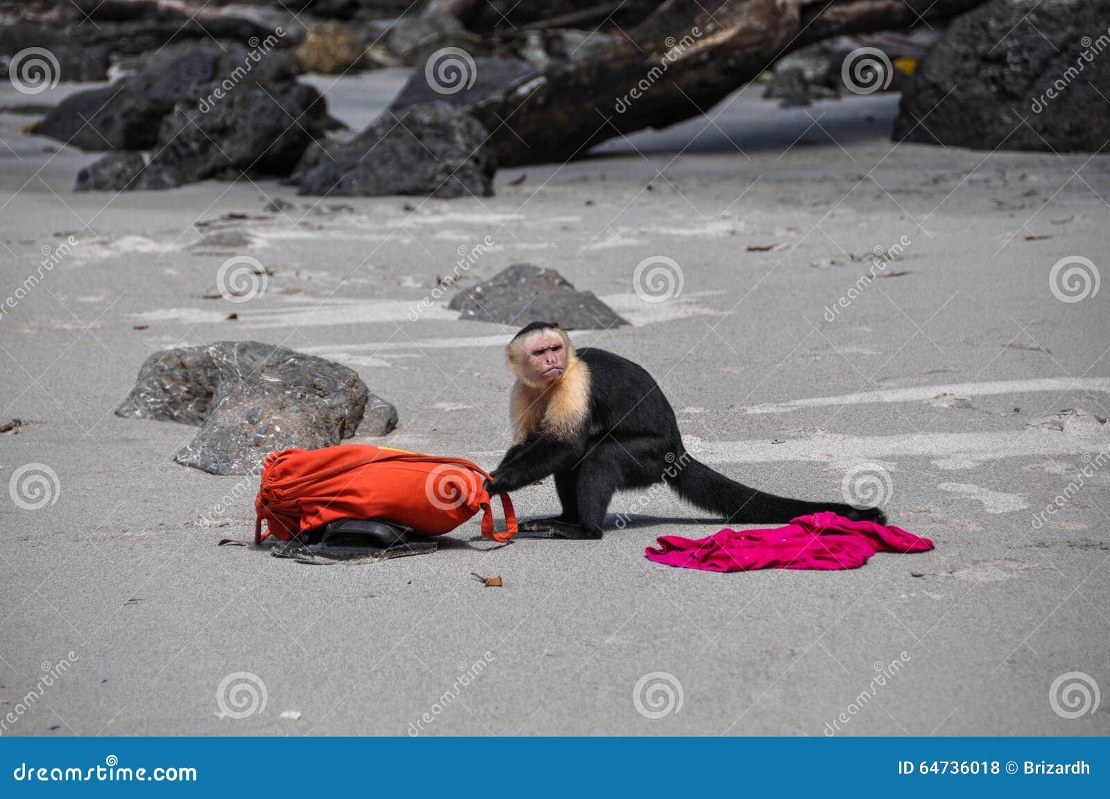 Chame a polícia! Capuchin enfrentado branco em Manuel Antonio, costela R