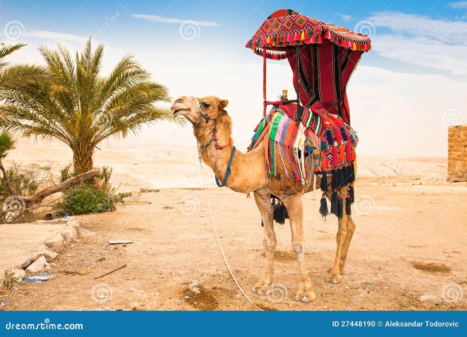 Chameau dans le désert de Judean