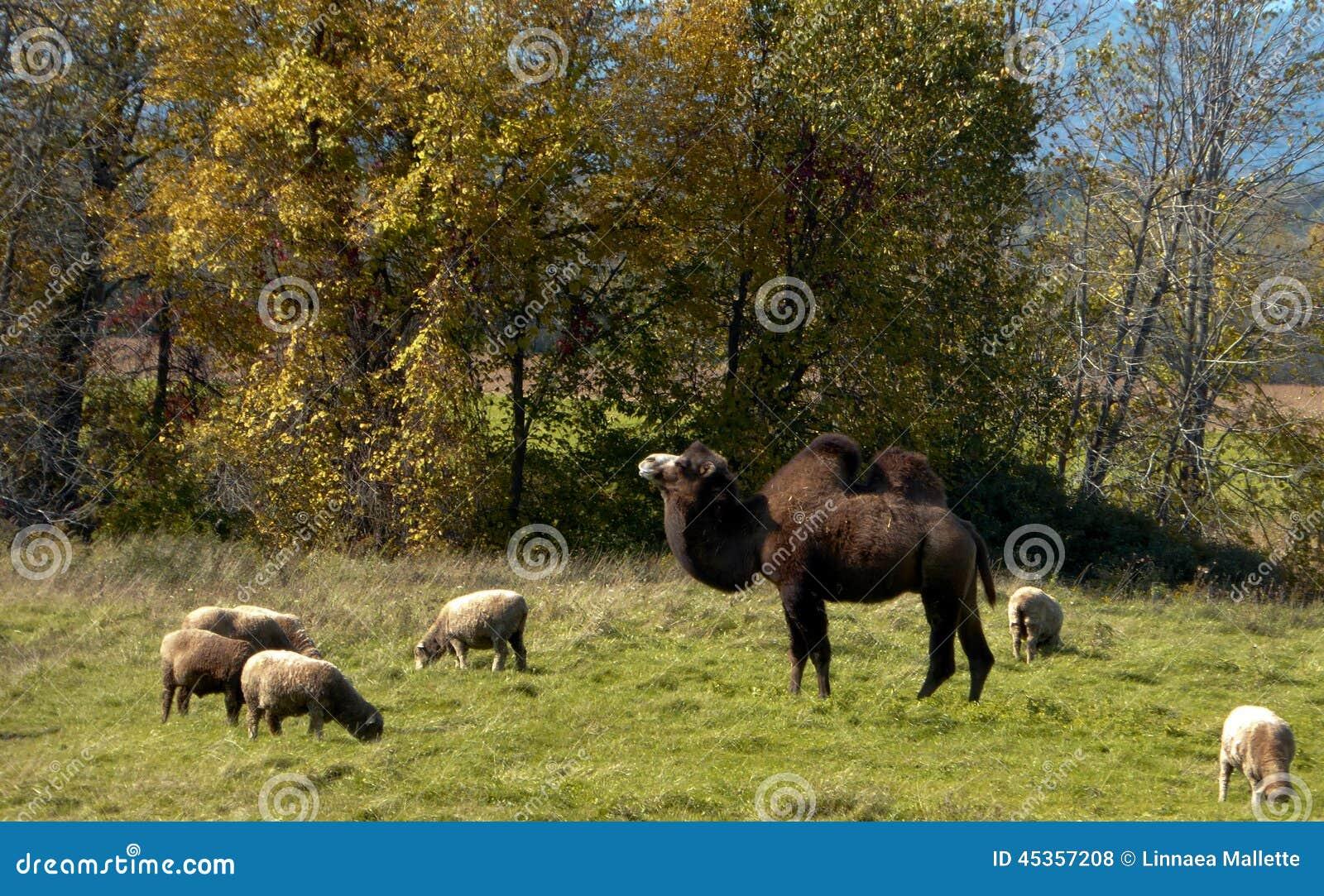 Chameau et moutons
