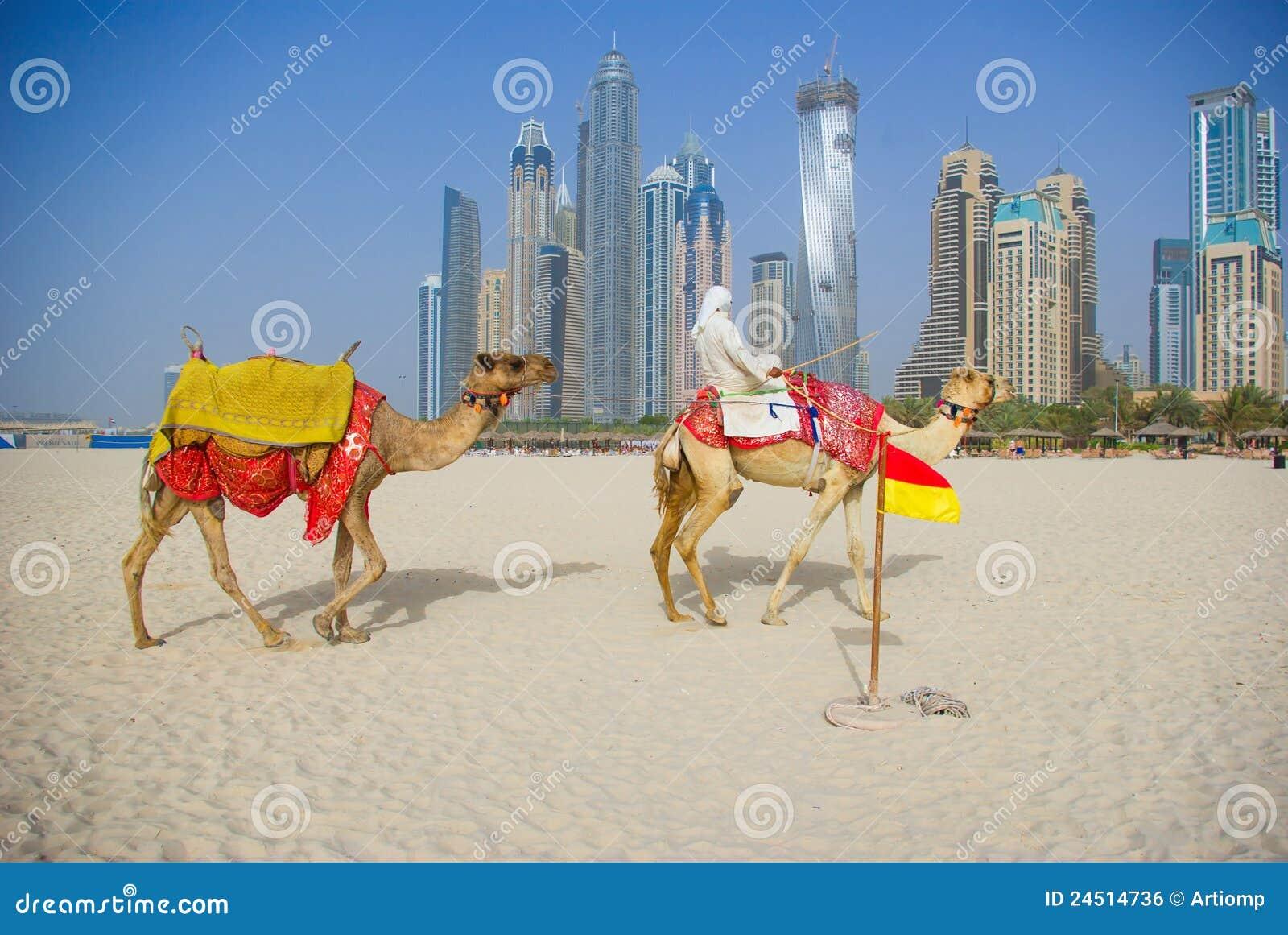 Chameau sur la plage à Dubaï