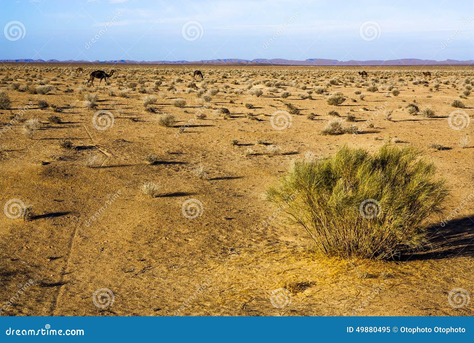Chameaux dans le désert, buisson sec