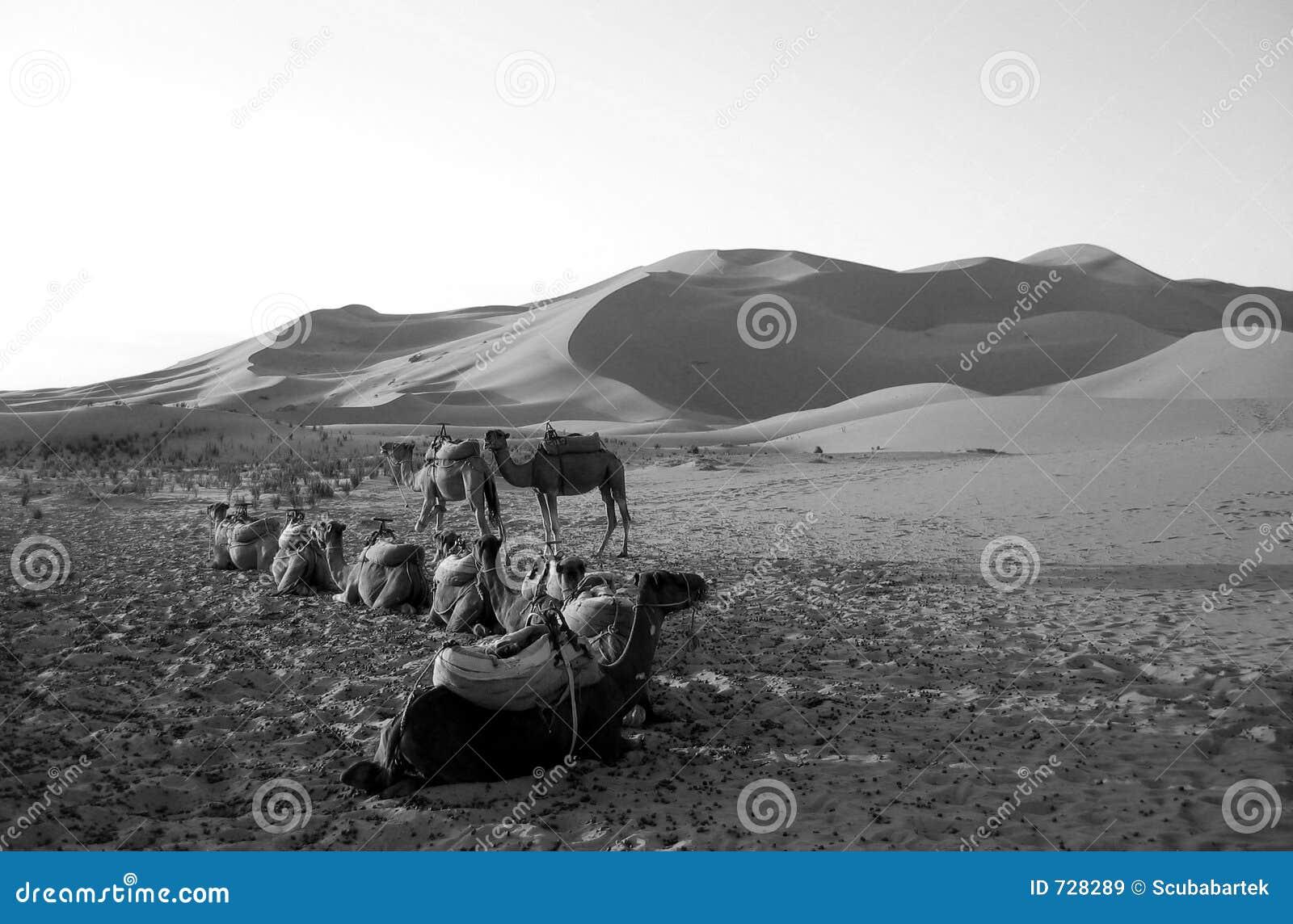 Chameaux se reposant dans un désert dans B/W