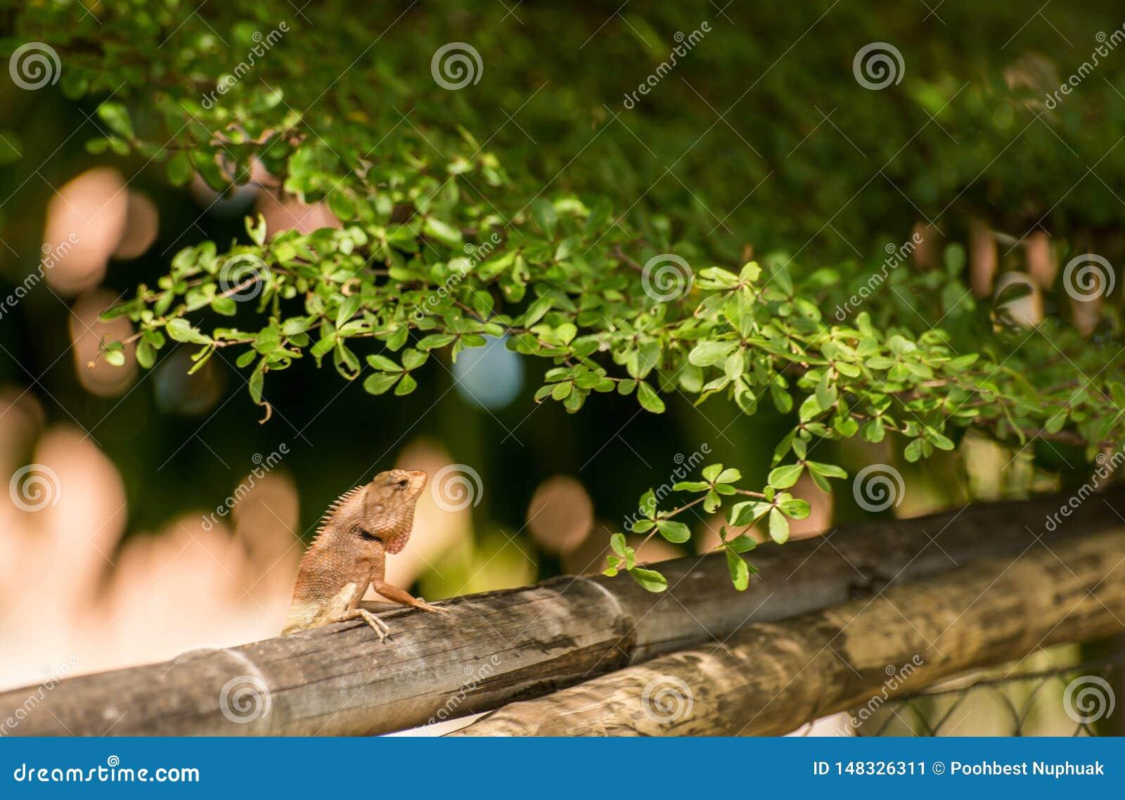 Chameleon climb on bamboo