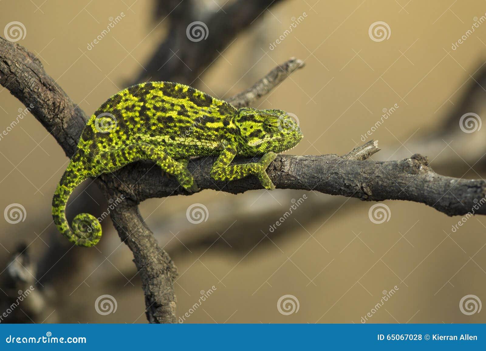 Chameleon climbing branch in tree