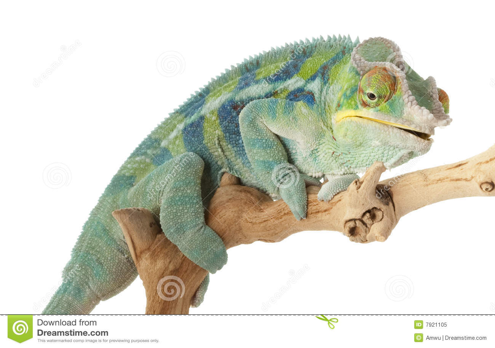 Chameleon da pantera de Ambanja