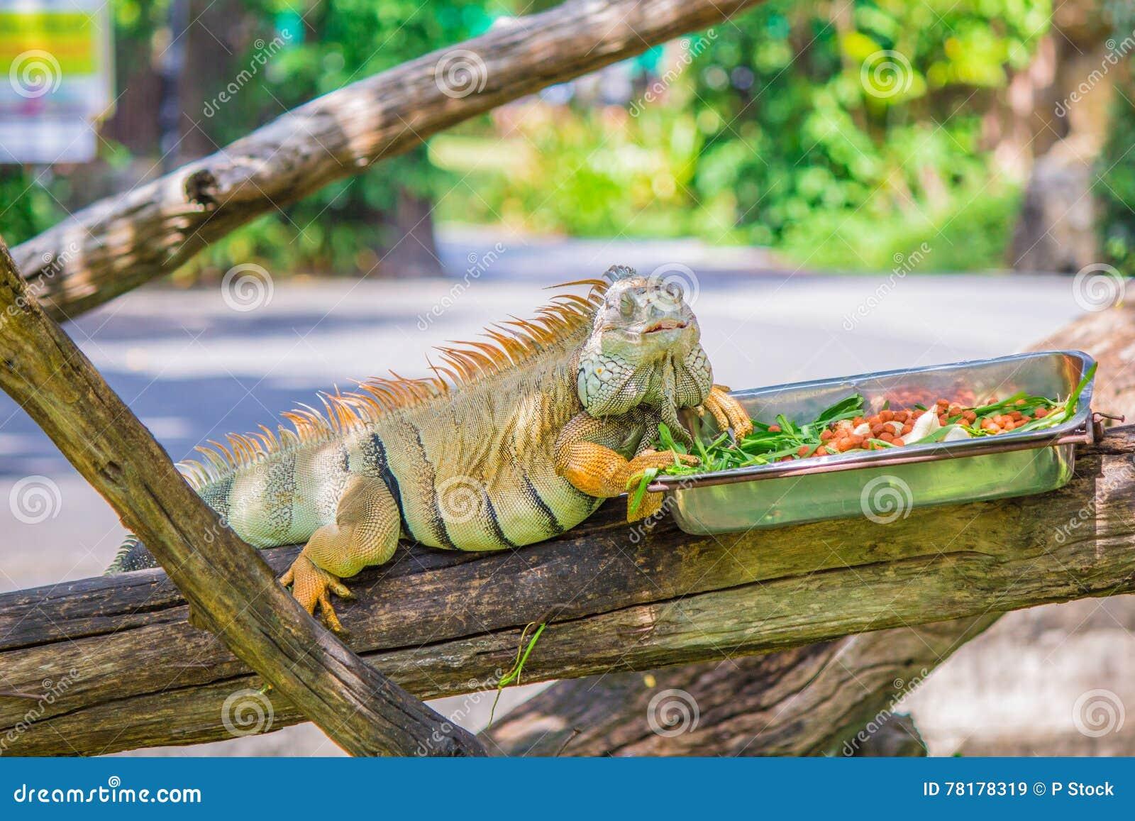 Chameleon and food.