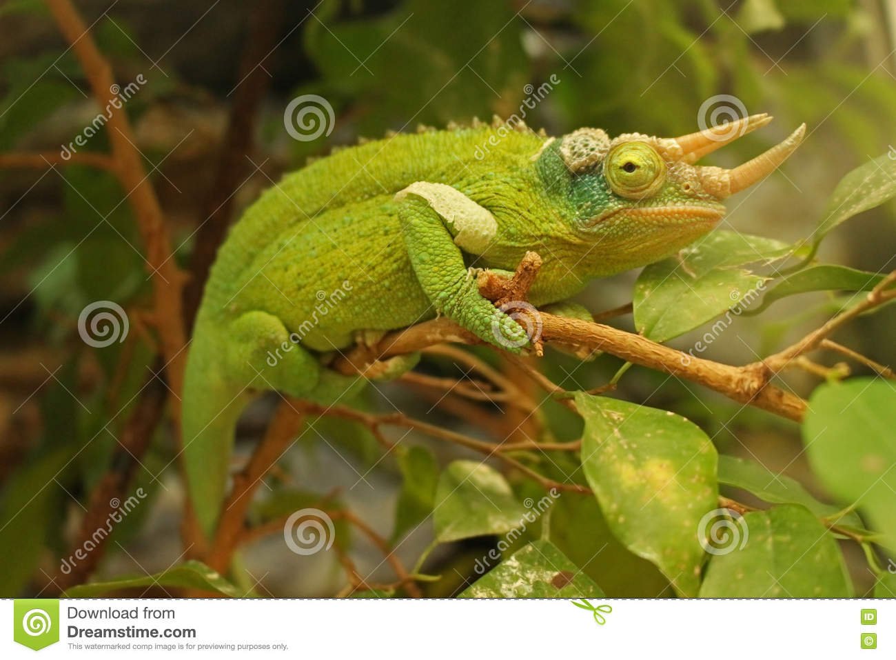 Download Chameleon stock photo. Image of legs, trioceros, climbs - 70359498
