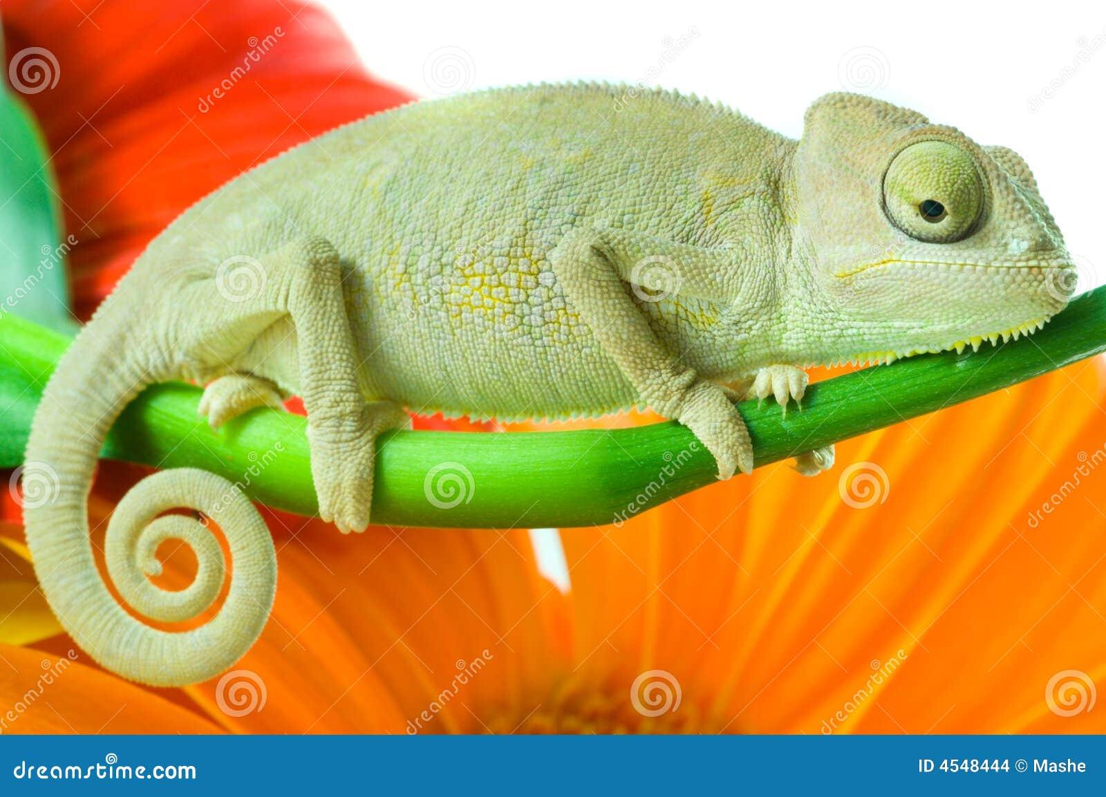 Chameleon. Isolação no branco