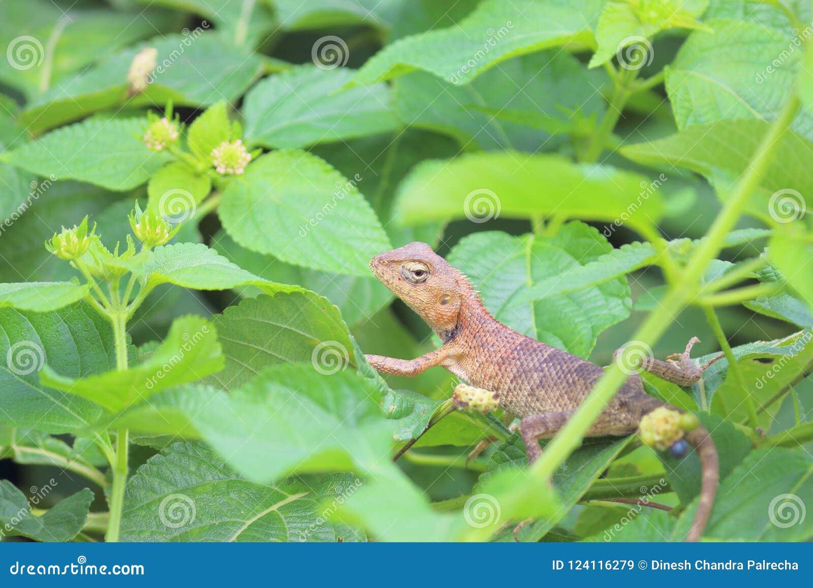 Chameleon Animal Stock Image Image Of Brown Looking 124116279