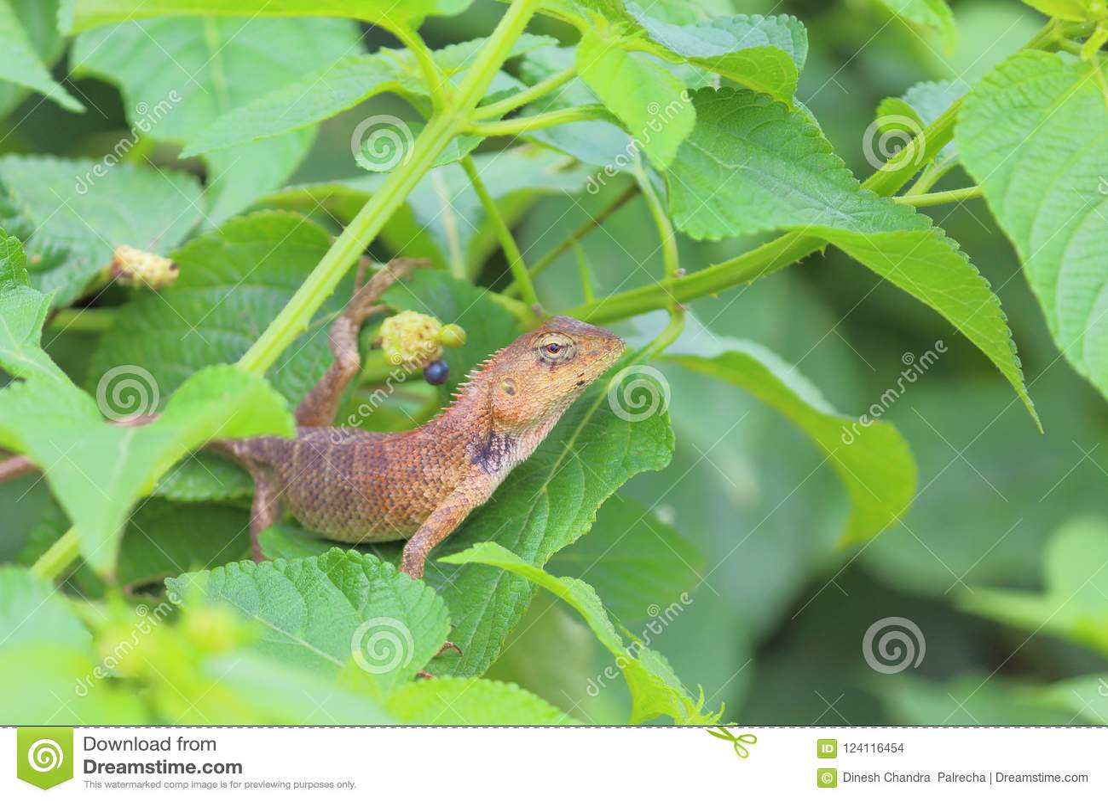 Chameleon Animal Stock Photo Image Of Rainy Bushes 124116454