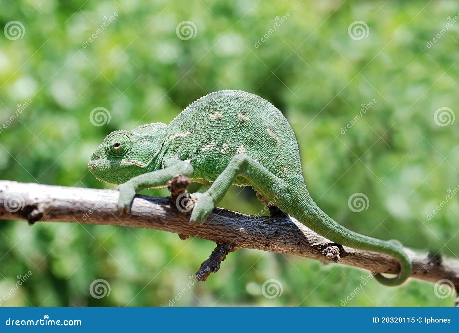 Chameleon na filial