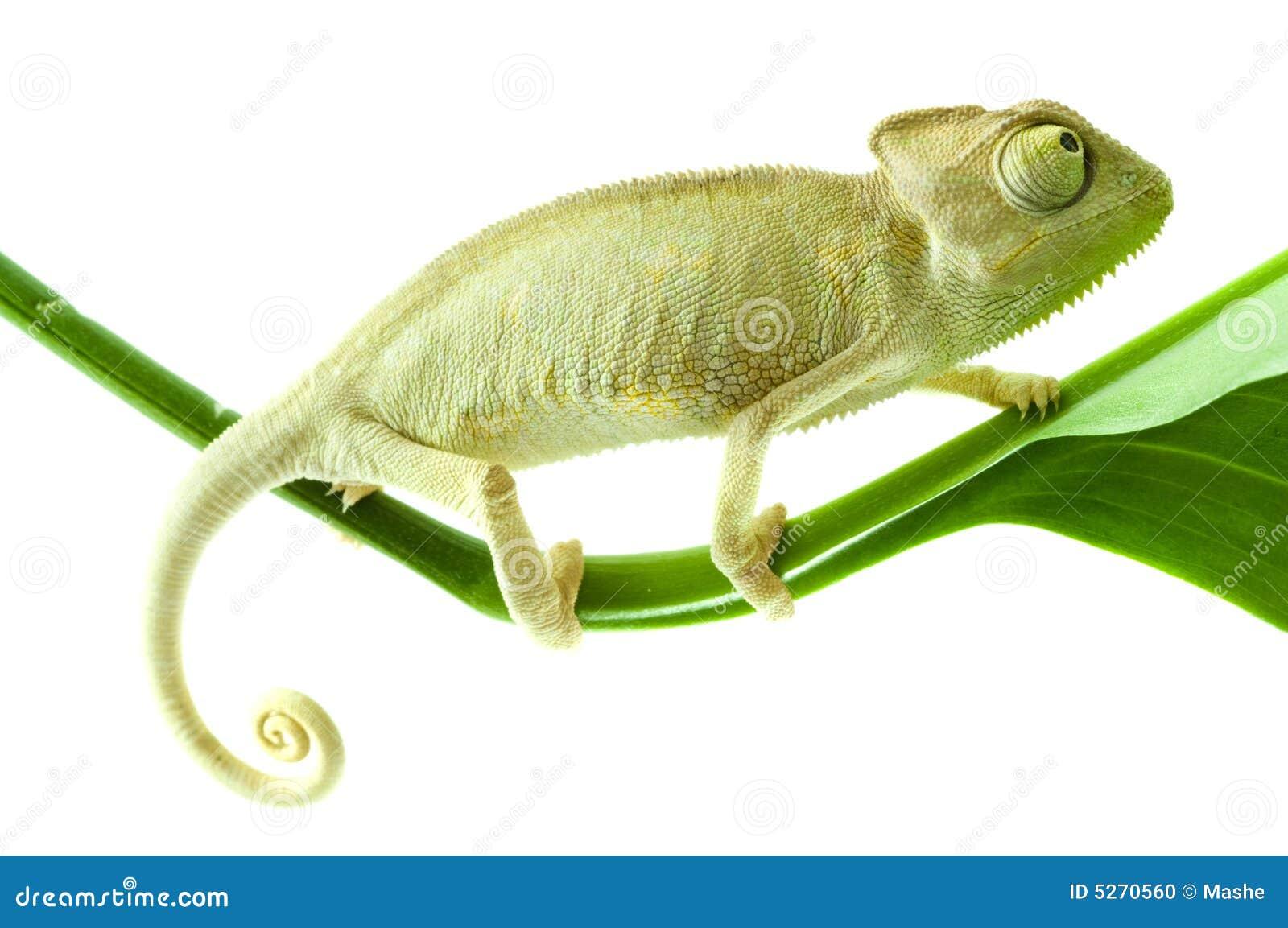 Chameleon na flor.