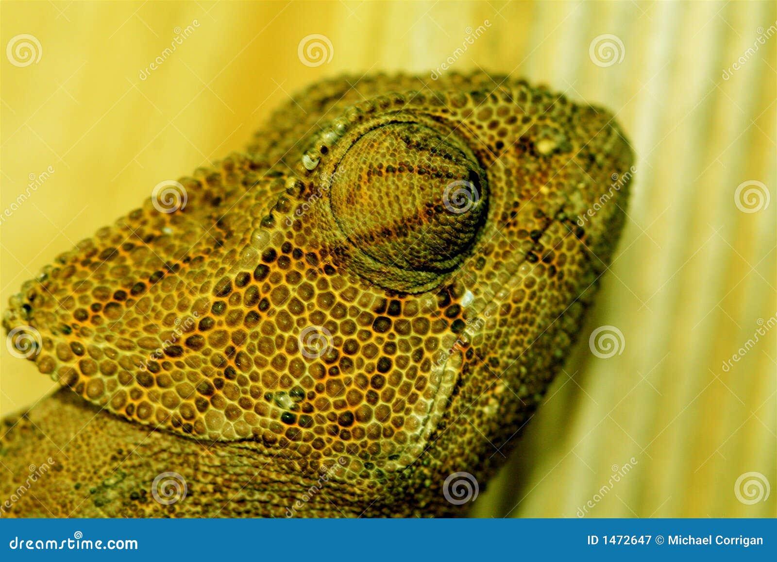 Chameleon na madeira