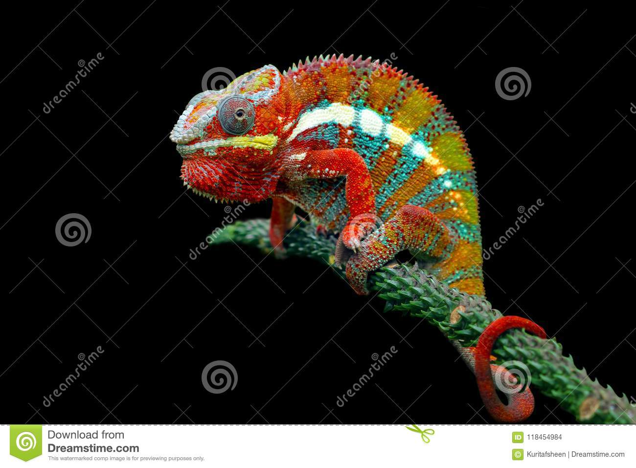 Download Chameleon Panther On Branch With Black Background Stock Photo - Image of living, endemic: 118454984