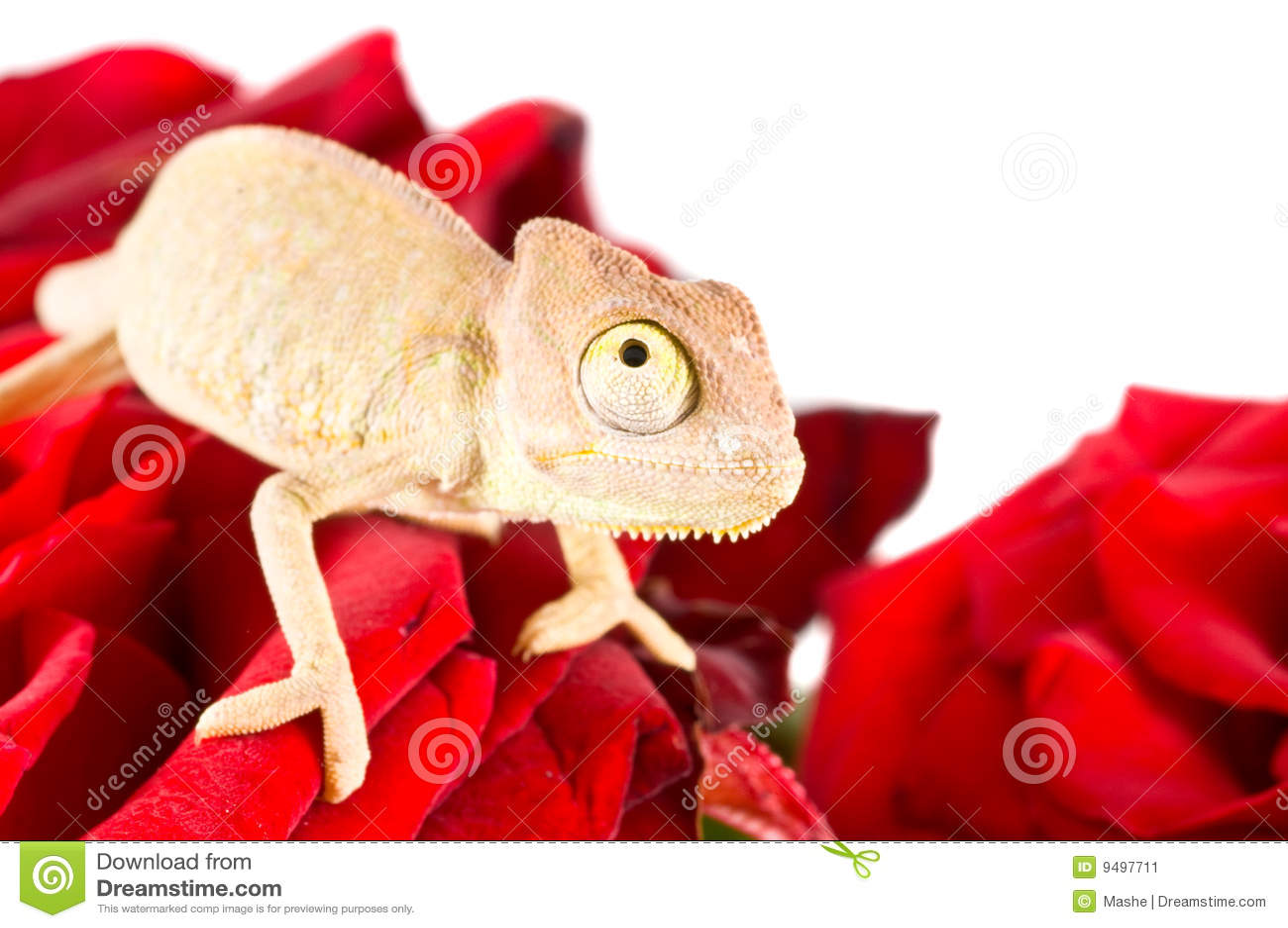 Chameleon pequeno